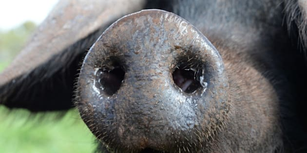 The snout of a Large Black heritage-breed pig is seen at independent free-range Jonai Farms and Meatsmith in Eganstown, Australia, on Monday, Sept. 29, 2014. The world may need an extra 1 billion tons of cereals and 200 million more tons of livestock products every year by 2050 as the global population grows to 9 billion from 7 billion, according to a 2011 report by the Food and Agriculture Organization of the United Nations. Photographer: Carla Gottgens/Bloomberg via Getty Images