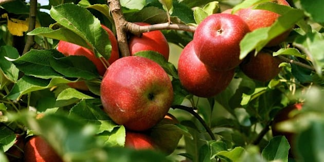 In this Aug. 23, 2007 photo, organic apples are seen at an orchard near Timberville, Va. (AP Photo/Dean Fosdick)