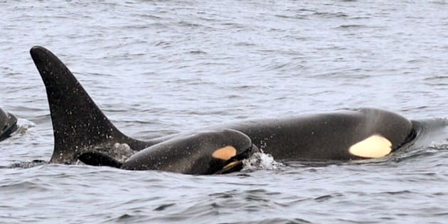 """In this Wednesday, Feb. 25, 2015 photo provided by the National Oceanic and Atmospheric Administration, (NOAA) a new baby orca swims alongside an adult whale, believed to be its mother, about 15 miles off the coast of Westport, Wash. U.S. biologists following endangered killer whales from a research vessel spotted the newborn orca off the coast of Washington state on Wednesday with other whales in the """"L"""" pod, one of three families of southern resident killer whales that frequent inland Washington waters. This is the third baby born to the whale pods in recent months, bringing the Puget Sound's endangered population to 80, still dangerously low. (AP Photo/National Oceanic and Atmospheric Administration, Candice Emmons)"""