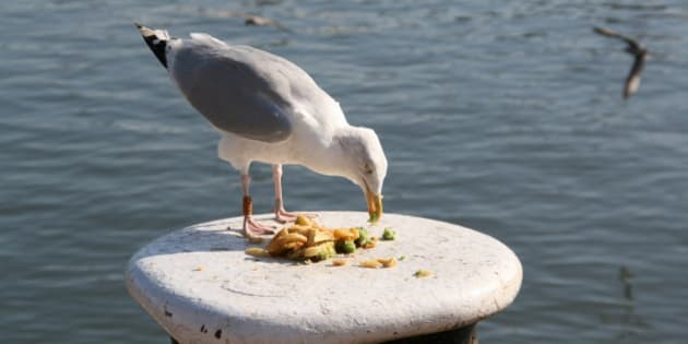 Scavenger seagull eating chips, Scarborough, North Yorkshire, England.