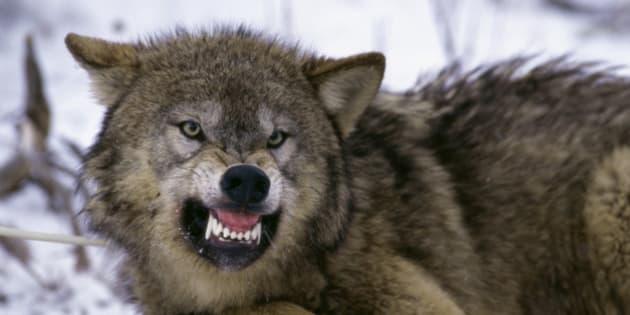 Husky Kills Small Dog