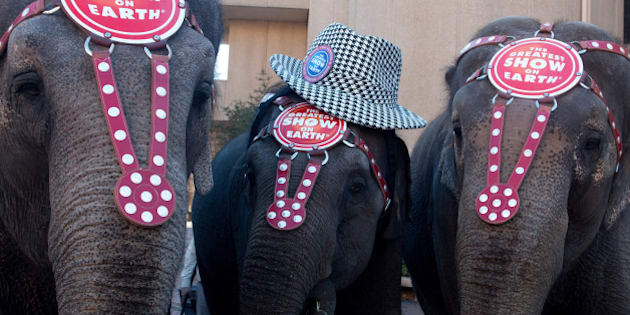 BIRMINGHAM, AL - JANUARY 21:  Circus elephants entertain the crowd during Ringling Bros. 'Elephant Brunch' at Birmingham-Jefferson Civic Center on January 21, 2015 in Birmingham, Alabama.  (Photo by David A. Smith/Getty Images)