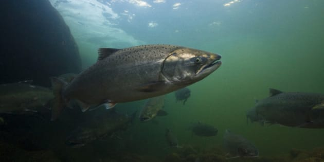 A salmon heads upstream in the Klamath river.