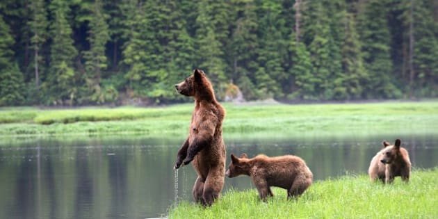 Canada, British Columbia, Khutzeymateen Grizzly Bear Sanctuary, Female grizzly bear (Ursus arctos horribilis) and her two cubs watching warily across water, Toward opposite bank where they would like to swim