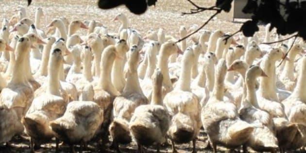 """Visite d'un élevage de cananrd lors d'une randonnée <a href=""""http://www.tourisme-salignac.com"""" rel=""""nofollow"""">www.tourisme-salignac.com</a>"""