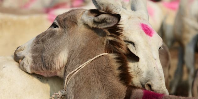 A pair of donkeys nuzzle each other during this year's donkey fair at Vautha village, some 50 kms from Ahmedabad, on November 10, 2013. Vautha is a trading centre for donkeys and camels during the annual Vautha Fair where thousands of donkeys are brought in from various states of India. AFP PHOTO / Sam PANTHAKY        (Photo credit should read SAM PANTHAKY/AFP/Getty Images)