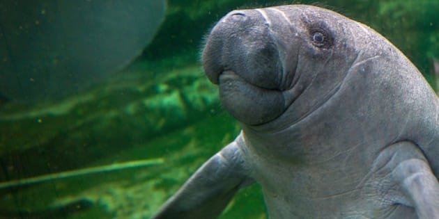 A photo taken on July 19, 2014 shows Mandilo, a baby manatee which was born on April 24, 2014, swimming at the Zoo Parc of Beauval. Mandilo was rescued and bottle fed by trainers for a month until his mother accepted to breastfeed it. AFP PHOTO / GUILLAUME SOUVANT        (Photo credit should read GUILLAUME SOUVANT/AFP/Getty Images)