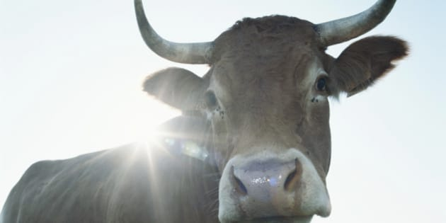 Cow standing in meadow, close-up