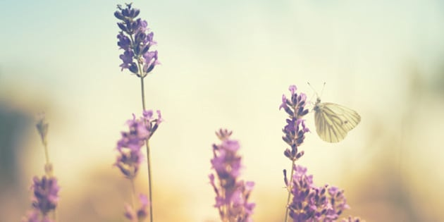 Butterflies on lavender.[