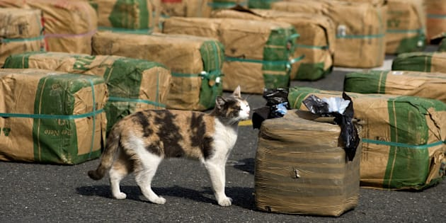 A cat smells packages of marijuana seized in the municipality of Tulua, and displayed in Cali for a press conference on February 15, 2012. Colombian National Police confiscated 3.6 tons of marijuana belonging to criminal gangs. AFP PHOTO/Luis ROBAYO        (Photo credit should read LUIS ROBAYO/AFP/Getty Images)