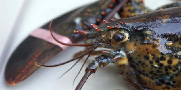 A fresh live lobster in a tank before it is cooked.