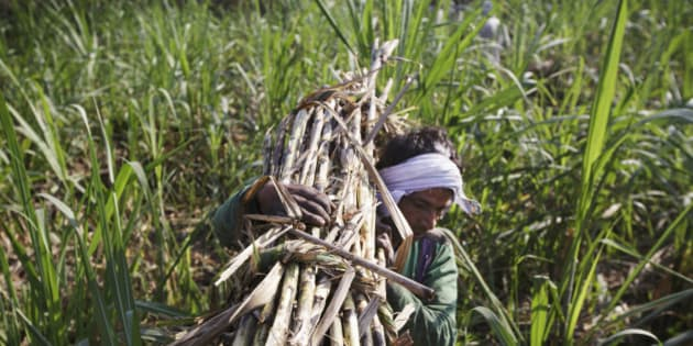 A farm worker carries a bundle of sugarcane to a cart during a crop harvest in a field in the district of Hapur, Uttar Pradesh, India, on Thursday, April 3, 2014. Sugar output in India, the worlds largest producer after Brazil, is set to climb for the first time in three years as a subsidy for raw exports and abundant dam water spur farmers to increase planting. Photographer: Kuni Takahashi/Bloomberg via Getty Images