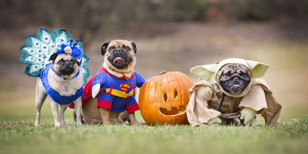 MELBOURNE, AUSTRALIA - OCTOBER 26:  (EUROPE AND AUSTRALASIA OUT)  (L-R) Pugs 'Tootsie', 'Basil' and 'Kevin' dressed up to celebrate Pug-O-Ween at Coopers Reserve in Camberwell in Melbourne, Victoria as part of a special get-together of eastern suburbs pug owners, known as Pugwell. The event raised money for Pug Rescue, Saffron on the Hill and Pug SOS. (Photo by Nathan Dyer/Newspix/Getty Images)