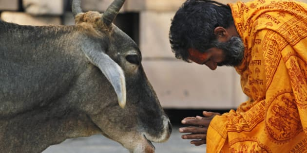 A Hindu holy man worships a cow after bathing in Saryu River in Ayodhya, India, Saturday, Oct. 2, 2010. Schools, shops and businesses reopened in Ayodhya, Varanasi, Lucknow and other potentially explosive places with a mixed population of Hindus and Muslims Friday as fears of violence ebbed in northern India following a court order to divide a disputed holy site between the Hindu and Muslim communities. (AP Photo/Rajesh Kumar Singh)