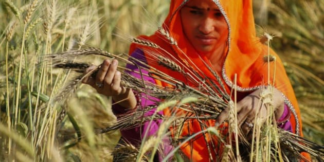 An Indian farmer woman looks at wheat crop that was damaged in unseasonal rainfall and hailstorm at village Govingpura, outskirts of Jaipur, Rajasthan state, India, Tuesday, March 17, 2015. The recent rainfall over large parts of northwest and central India has massively damaged standing crops. (AP Photo/Deepak Sharma)