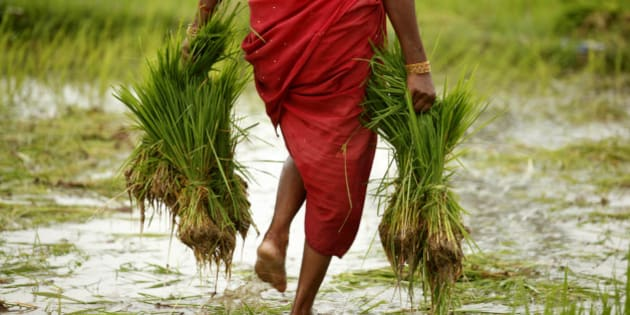 A farmer woman carries paddy to sow in a field at Kunwarpur village about 70 kilometers (44 miles) east of Allahabad, India, India, Friday, Aug. 12, 2011. (AP Photo/Rajesh Kumar Singh)