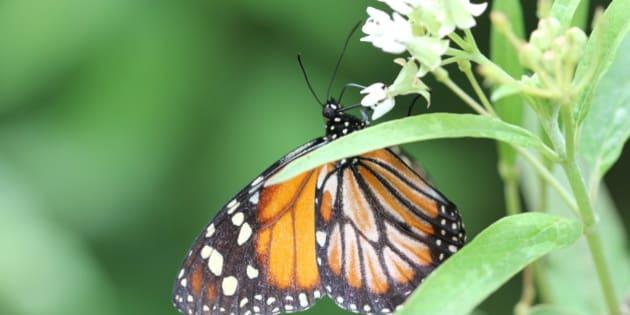 Monarch feeding on milkweed near Puerto Escondido DR IMG 9845