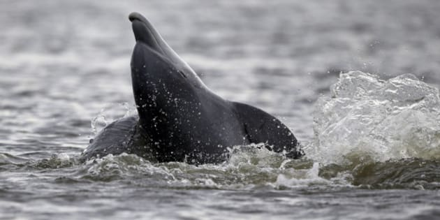 A dolphin breaches in Cat Bay, in Plaquemines Parish, La., Sunday, April 19, 2015. (AP Photo/Gerald Herbert)