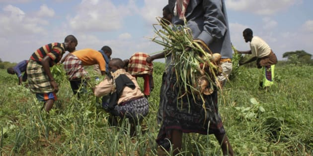 In this Nov. 21, 2011 photo, residents harvest crops at a community-run farm, which receives assistance by the United Nations Food and Agriculture Organization (FAO), near Dolo in Somalia. Somalia is beginning to recover from its famine, with lush patches of green dotting this once-barren land allowing goats and camels to return, but some people who fled famine and now live in a stick-hut camp in this border town are afraid to return home for fear they can't produce enough food, and for fear of violence involving Islamist militants. (AP Photo/Jason Straziuso)