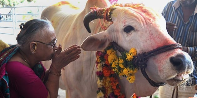 An Indian Hindu devotee offers prayers to a sacred cow on the eve of Gopastami in Hyderabad October 31, 2014. The Gopastami festival, which commemorates Hindu Lord Krishna becoming a cowherder, brings devotees preparing food and offering religious rituals to cows. AFP PHOTO / Noah SEELAM        (Photo credit should read NOAH SEELAM/AFP/Getty Images)