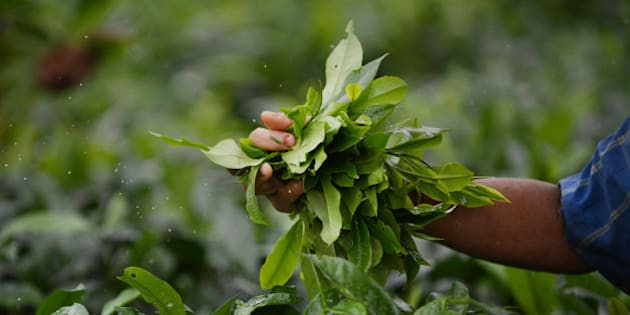 In this photograph taken on June 6, 2013, An Indian woman plucks leaves from tea shrubs at a tea garden near Binnaguri in the north eastern Indian state of Assam. Tea is indigenous to India which is the second largest producer in the world behind China.        AFP PHOTO/Roberto SCHMIDT        (Photo credit should read ROBERTO SCHMIDT/AFP/Getty Images)