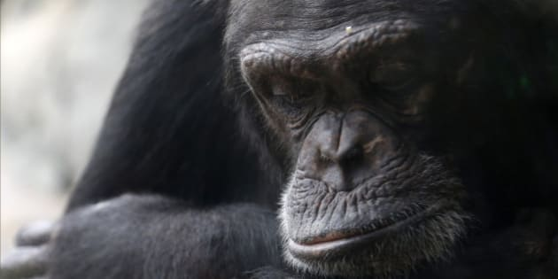 Tanzee, a female chimpanzee at the Houston Zoo sits alone in a corner Thursday, Nov. 6, 2014, in Houston. The zoo's new exhibit will house 15 rescued chimps in a large outdoor compound with an indoor viewing area. The primates in the group are still getting acquainted with one another. (AP Photo/Pat Sullivan)