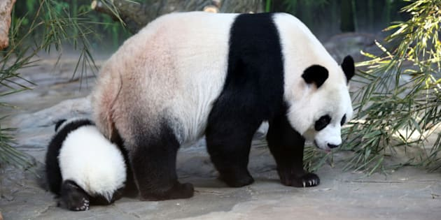 FOSHAN, CHINA - DECEMBER 09:  (CHINA OUT) Giant panda Juxiao plays with her cub, one of the panda triplets at Chimelong Safari Park on December 9, 2014 in Foshan, China. The world's only live giant panda triplets (two boys and one girl) started living together with their mother, giant panda Juxiao, after taking turns living with her since their birth at the Chimelong Safari Park on Tuesday. The triplets were born on July 29 and after over 100 days they now all weigh over 8 kg and are doing well. They will stay with their mother and meet with visitors at 13:00 - 15:00 and 16:00 - 18:00 from Tuesday.  (Photo by ChinaFotoPress/ChinaFotoPress via Getty Images)