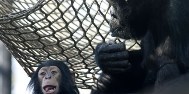 Seven-and-a-half month old male chimpanzee Ajani, left, and his mother Amber, right, explore their outdoor quarters at Artis Royal Zoo in Amsterdam, Netherlands, Wednesday, April 16, 2014. (AP Photo/Peter Dejong)