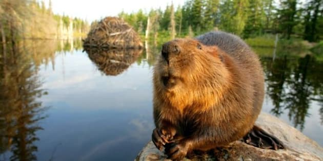 The Beaver As National Symbol Why Is A Furry Mammal Still An Emblem