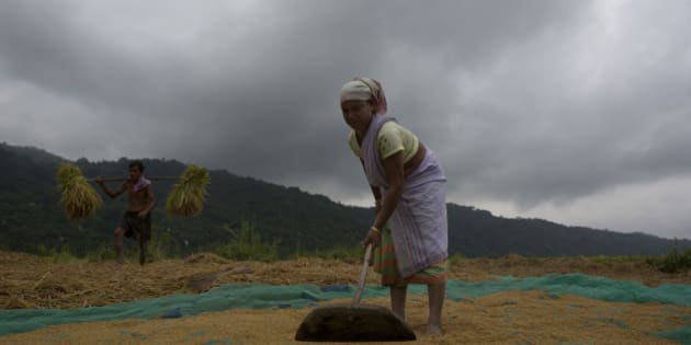 An Indian woman farmer Soibha Kathar, 45, dries paddy as Haren Kathar, 60, carries crops on his shoulder in a field in Burha Mayong village, about 50 kilometers (31 miles) east of Gauhati, India, Monday, May 25, 2015. Farmers in India's northeastern state Assam are busy harvesting their crop ahead of the anticipated monsoon rains. (AP Photo/Anupam Nath)