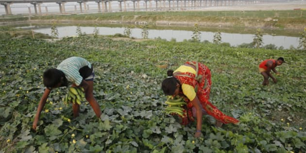 Indian farmers harvest vegetables at a field on the outskirts of Allahabad, in the northern Indian state of Uttar Pradesh, Saturday, May 9, 2015. Agriculture is the main livelihood for more than 60 percent of the 1.2 billion people. (AP Photo/ Rajesh Kumar Singh)