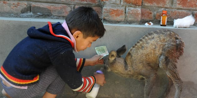 A Kashmiri boy feeds an injured young Hangul Deer in a suburb of Srinagar on October 24, 2012 which residents had rescued from a pack of stray dogs.  The Hangul Deer or Kashmiri stag is an endangered species of red deer and officials revealed that as per the last census of 2011 the number of Hangul recorded in the wildlife sanctuary was 218.  AFP PHOTO/Rouf BHAT        (Photo credit should read ROUF BHAT/AFP/Getty Images)