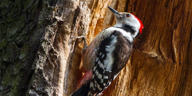 """This relatively rare bird is 21cm big and builds the nests itself by hammering a hole into soft wood.     <a href=""""http://www.milvus.me/2015/03/middle-spotted-woodpecker/"""" rel=""""nofollow"""">www.milvus.me/2015/03/middle-spotted-woodpecker/</a>"""