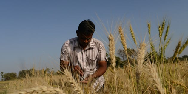 Indian farmer Vijaybhai Patel checks the quality of wheat at his field at Dhamasana village of Kalol Taluka, some 40 kms from Ahmedabad on March 13, 2014. Over 70 percent of Indians depend on agricultural incomes and about 65 percent of India's farms depend on rains that fall between June and September.  AFP PHOTO / Sam PANTHAKY        (Photo credit should read SAM PANTHAKY/AFP/Getty Images)