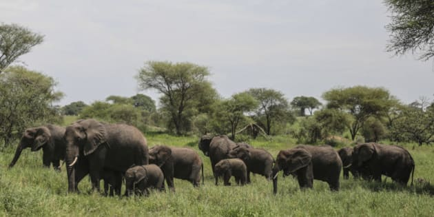 In this photo taken Friday, Jan. 16, 2015, a herd of African elephants gather in Tarangire National Park on the outskirts of Arusha, northern Tanzania. The park is known for its baobab trees and hosts more than 500 animal species. (AP Photo/Mosa'ab Elshamy)