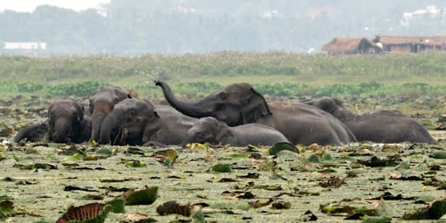 A herd of wild elephants from the nearby Rani forest reserve are seen in wetlands at Mikir village in the outskirts of Guwahati on May 19, 2012.  At least 25 wild elephants were sighted foraging for food in the wetlands late May 18. AFP PHOTO/STR        (Photo credit should read STRDEK/AFP/GettyImages)