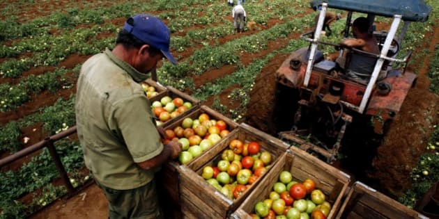 A farmer collects tomatoes on a tractor in a farm in Guira de Melena, 50 kms (80 miles) south of Havana, Wednesday, April 2, 2008.Cuba has begun lending unused land to private farmers and cooperatives as part of a sweeping effort to step up agricultural production, a small but potentially landmark step that could change the face of farming on the island.(AP Photo/Javier Galeano)