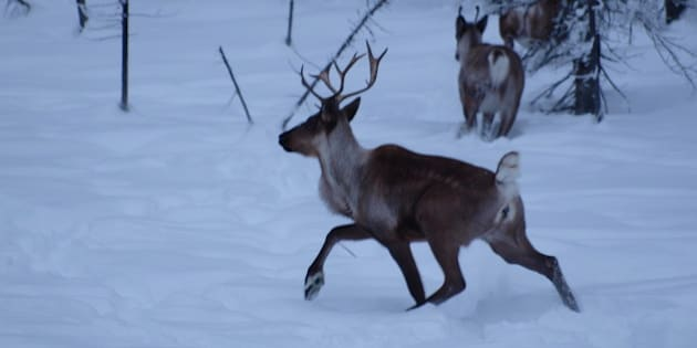 Caribou startled by the click of camera and scent of a human.