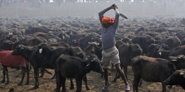 A butcher prepares to slaughter a buffalo with his knife during a mass sacrifice ceremony at Gadhimai temple in Bariyapur, about 70 kilometers (43 miles) south of Katmandu, Nepal, Tuesday, Nov. 24, 2009. Hundreds of thousands of Hindus gathered at a temple in southern Nepal on Tuesday for a ceremony involving the slaughter of more than 200,000 animals, a festival that has drawn the ire of animal-welfare protesters. (AP Photo/Gemunu Amarasinghe)