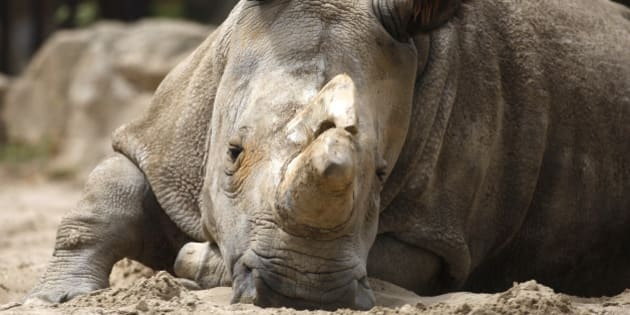 Nabire, the 27-year-old northern white rhino sits in her enclosure at the zoo in Dvur Kralove, Czech Republic, Friday, July 8, 2011. Another female northern white, Nesari, died in Dvur Kralove in her sleep May 26, 2011, at the age 39, further reducing the world's dwindling population of the critically endangered animal. (AP Photo/Petr David Josek)