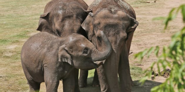 Malee, left, a four-year old Asian elephant, interacts with her aunt Chandra, center, who will turn 20 on July 2nd, and Bamboo, right, a recent arrival from Seattle's Woodland Park Zoo, at the Oklahoma City Zoo in Oklahoma City, Wednesday, July 1, 2015. Woodland Park Zoo decided to end its elephant program in 2014, and the decision was made to move the elephants to Oklahoma City. The elephants arrived in May and spent 30 days in quarantine. (AP Photo/Sue Ogrocki)