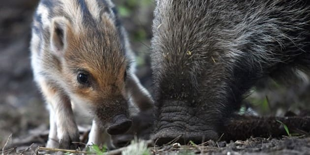 A young boar is seen next to its mother at the Erlebnisbauernhof adventure farm in Klaistow, eastern Germany, on February 27, 2015. The young boar is approximately a week old.                AFP PHOTO / DPA / RALF HIRSCHBERGER   +++   GERMANY OUT        (Photo credit should read RALF HIRSCHBERGER/AFP/Getty Images)