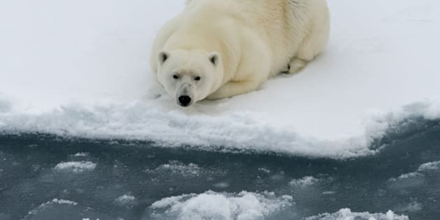 Polar bear lying on ice floe of the pack. Close view. Spitzbergen.