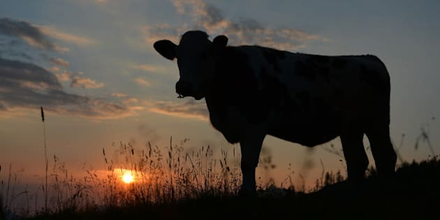 A cow is silhouetted against the rising sun as it stands on a pasture at the Loferer Alm, in the Austrian province of Salzburg, on Tuesday, July 17, 2014. The weather is expected to stay friendly and warm. (AP Photo/Kerstin Joensson)