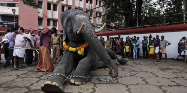 A chained temple elephant sits upon the command of his mahout as he is prepared for Friday's Pooram festival procession at a temple in Thrissur, India, Thursday, May 8, 2014. Pooram, a traditional festival marked with processions of decorated elephants, is one of the most famous festivals of the southern Indian state of Kerala. (AP Photo/Arun Sankar K)