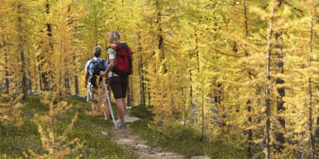 Canada, Alberta, Banff National Park, Hikers on trail through alpine larches in autumn