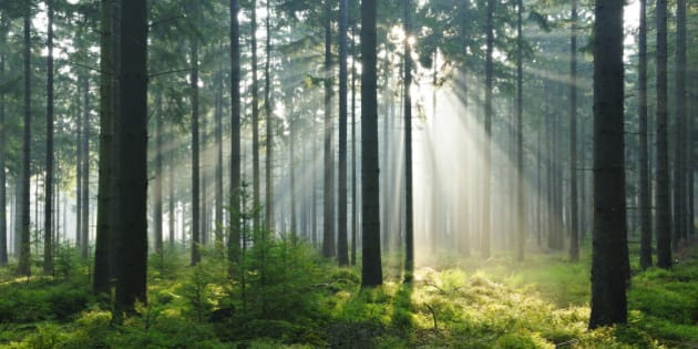 Fairytale Forest - Sunbeams in Natural Spruce Forest
