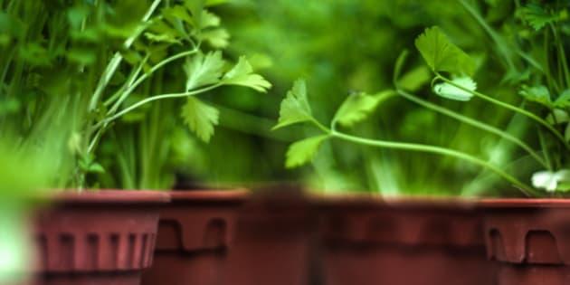 A shot of a home grown corianders.