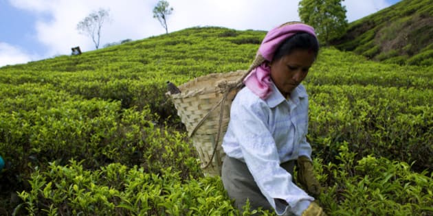 MAKAIBARI, DARJEELING, WEST BENGAL, INDIA - 2015/03/31: A woman plucks tea leaves at Makibari tea garden. Set up in 1859 off Kurseong in the Darjeeling hills the Makaibari estate is the worlds first tea factory. Swaraj Kumar Banerjee aka Rajah Banerjee, the great-grandson of the founder (GIrish Chandra Banerjee), has taken it to an altogether new height. Organically produced tea of Makaibari fetched a record price of $1,850 (around Rs 1.12 lakh) per kg. It became the official tea partner at Beijing Olympics in 2008 and was served at the 2014 FIFA World Cup. However, a couple of years ago Rajah sold off almost 90% stake to the Luxmi Group as his sons were not interested to run the family business. But he still remains the chairman of Makaibari Tea & Trading Co Pvt Ltd and the face of the company. The Luxmi Group promises to bring in accounting expertise and develop distribution network further to help Makaibari become a much bigger brand. (Photo by Subhendu Sarkar/LightRocket via Getty Images)