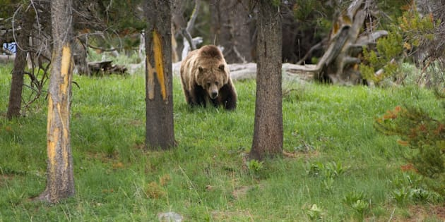 Grizzly Bear in yellowstone National Park . (Photo by: Universal Education/Universal Images Group via Getty Images)